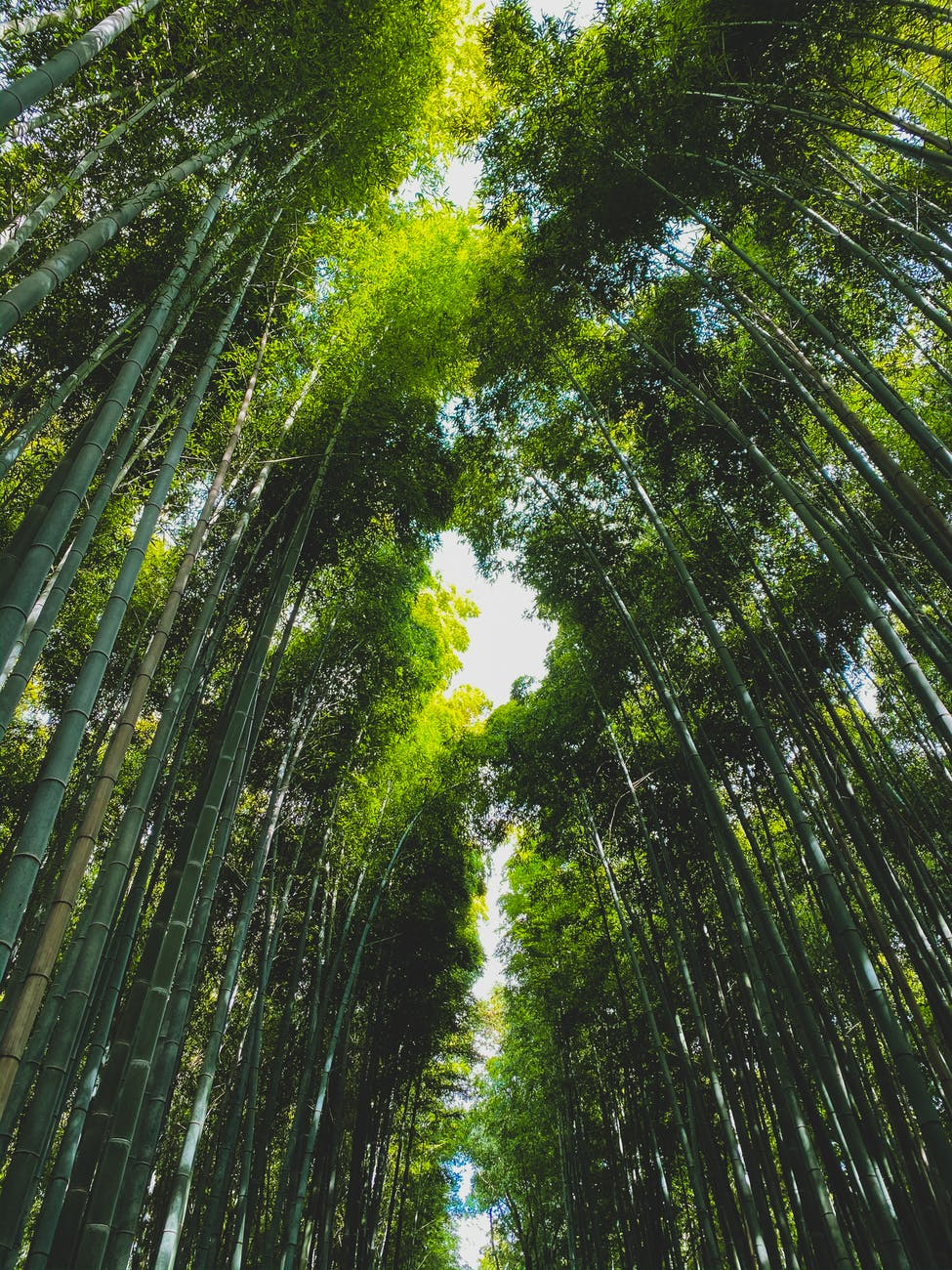 bamboo forest with row of trees on sunny day